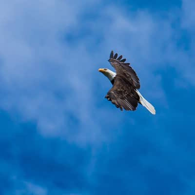 Projects - Bald Eagle Population Monitoring