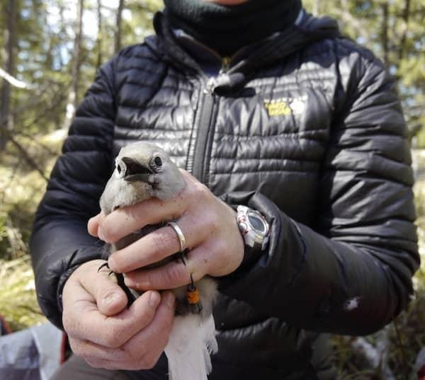 Projects - Understanding the Clark's Nutcracker Whitebark Pine Mutualism